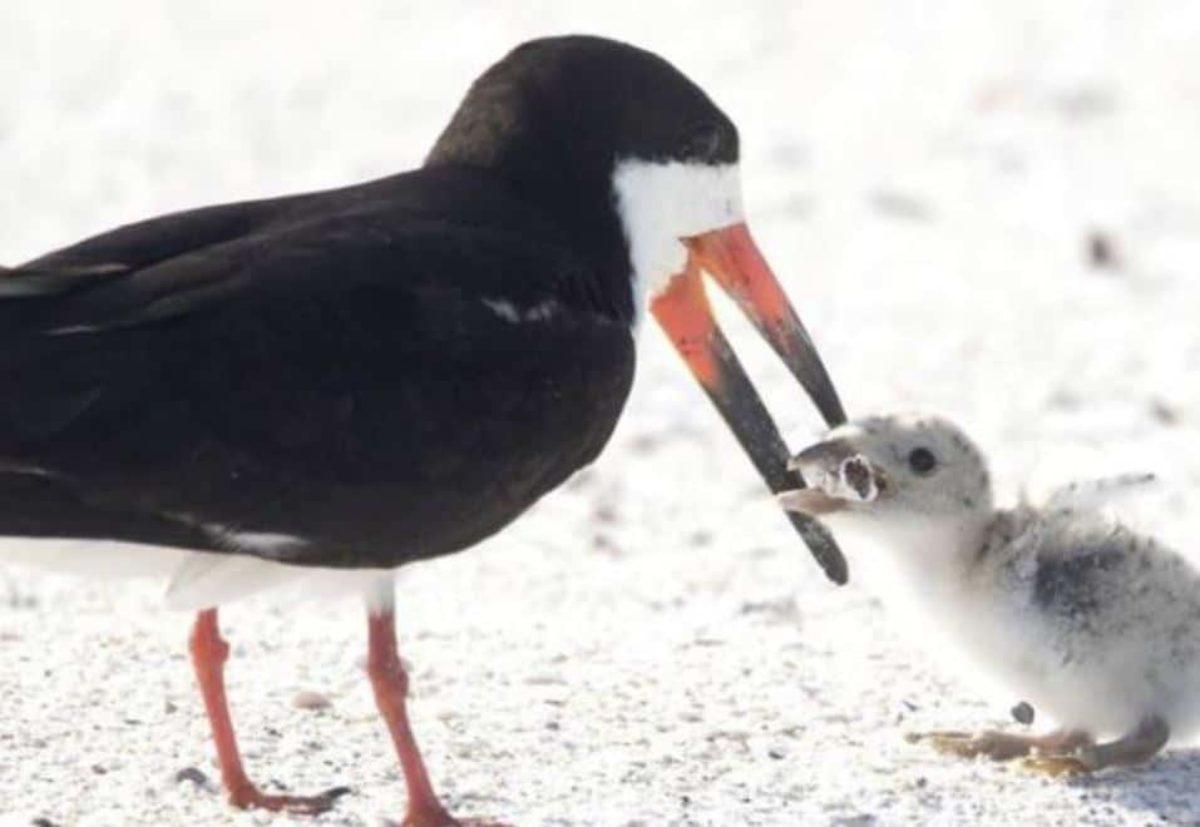 Un uccello marino nutre il suo piccolo con un mozzicone di sigaretta. La foto shock che sta facendo il giro del mondo