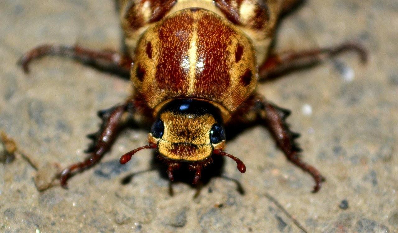 Piccoli Scarafaggi In Cucina scarafaggi immuni insetticidi: gli scienziati hanno lanciato