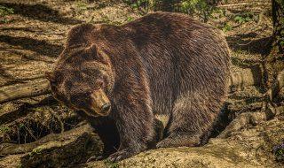 orso in fuga trentino