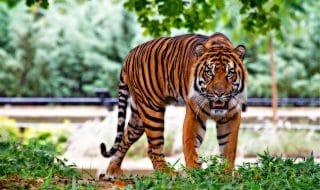 Tigre motociclista video