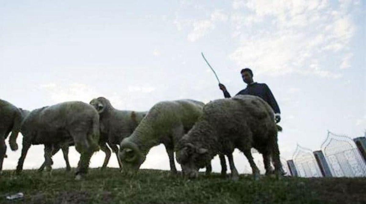 India, moglie fugge con l'amante: il marito risarcito con 71 pecore
