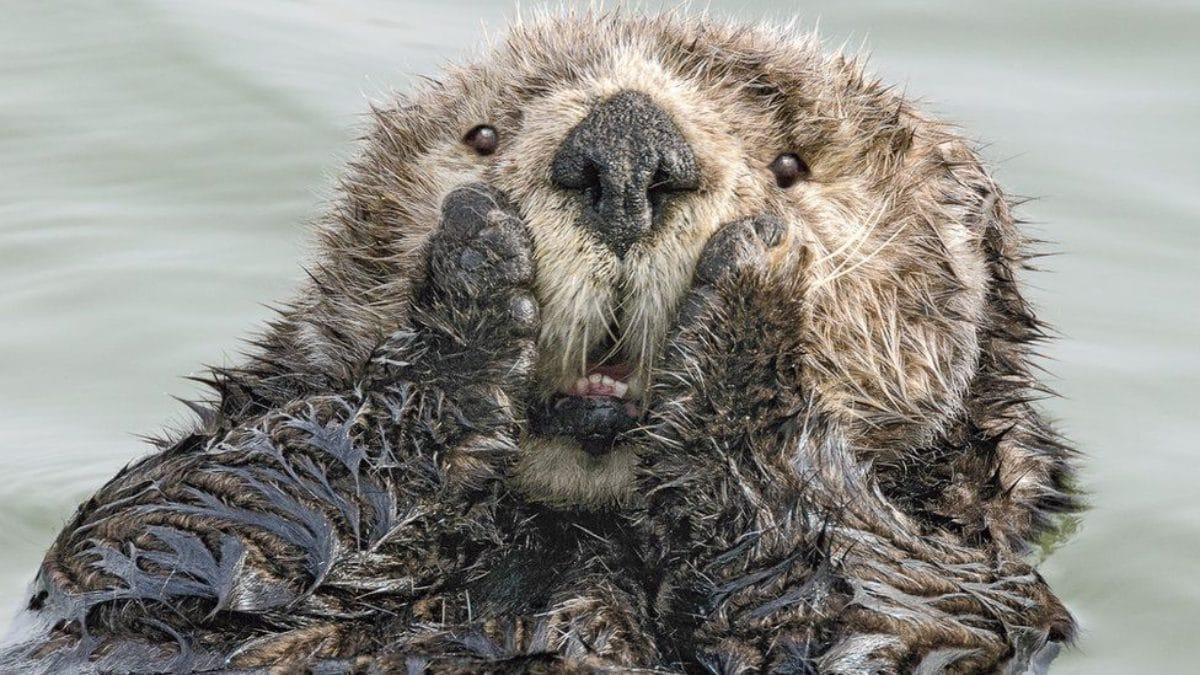 comedy wildlife photography awards otter