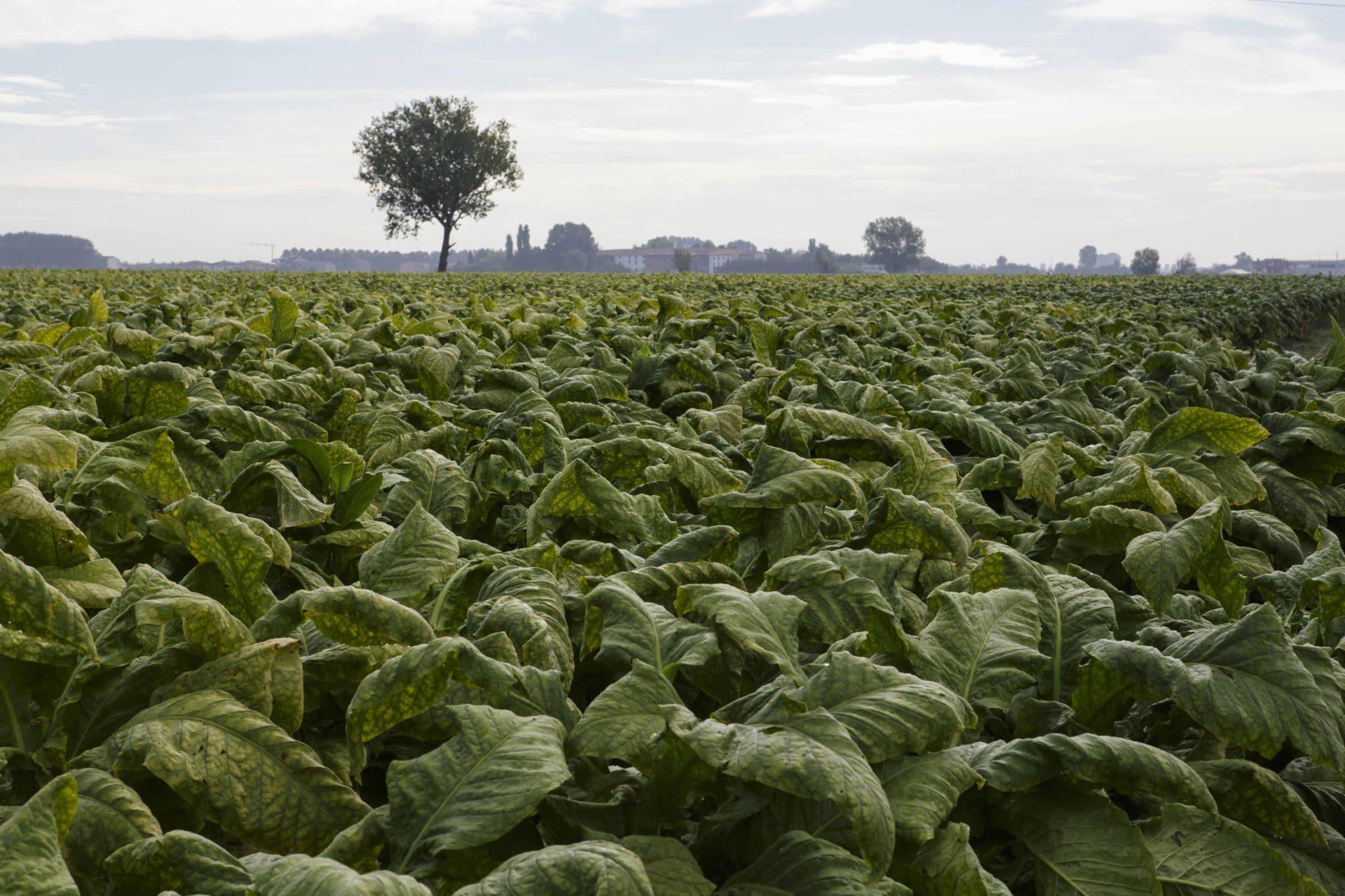 tabacco italia