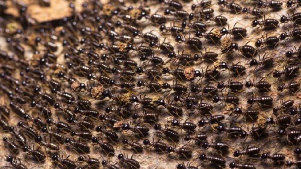 formiche sul pene